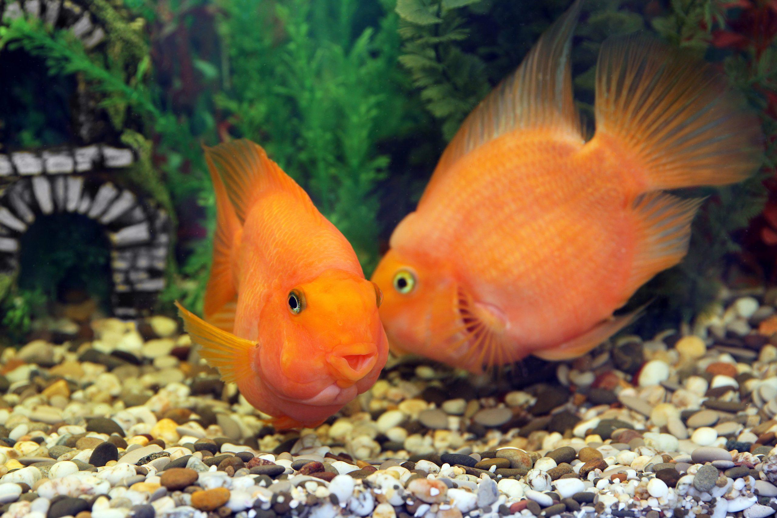 fish kissing