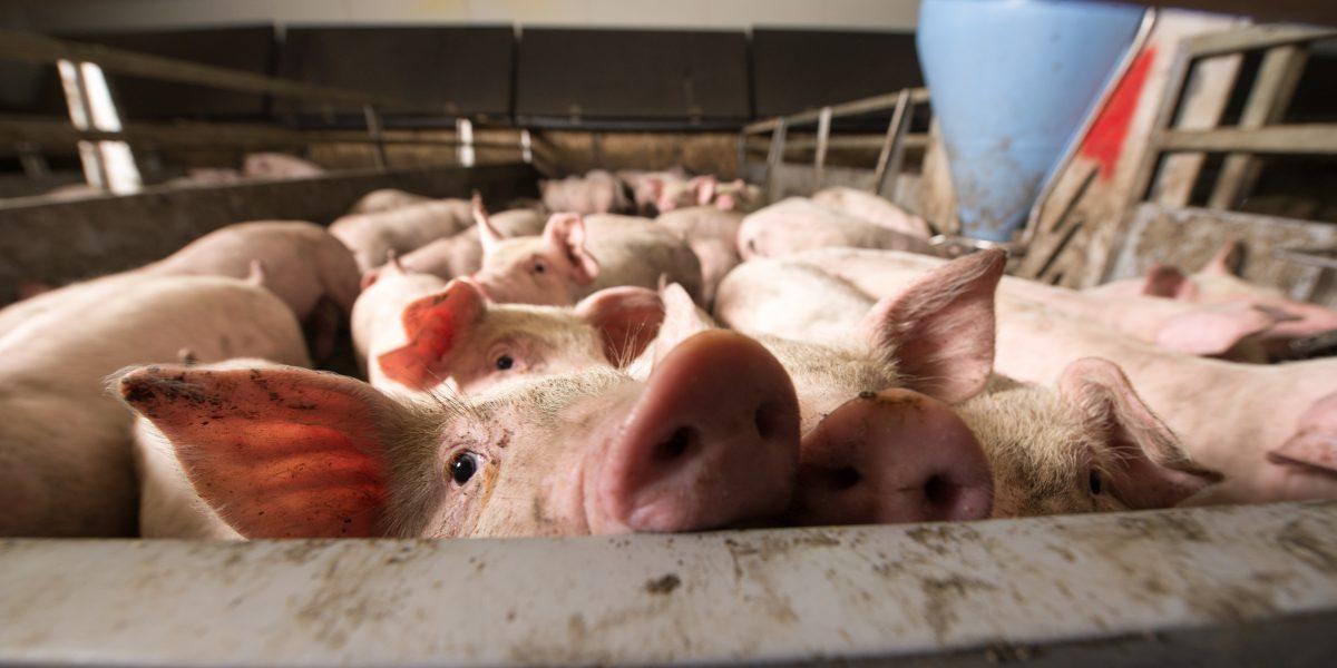 pig at factory farm