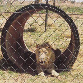 lion behind fence