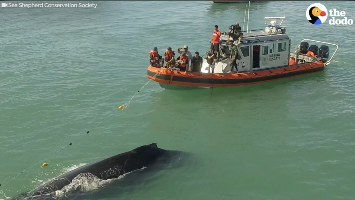 Rescue Team Spends Four Hours Rescuing Humpback Stuck in Fishing Net [Video]