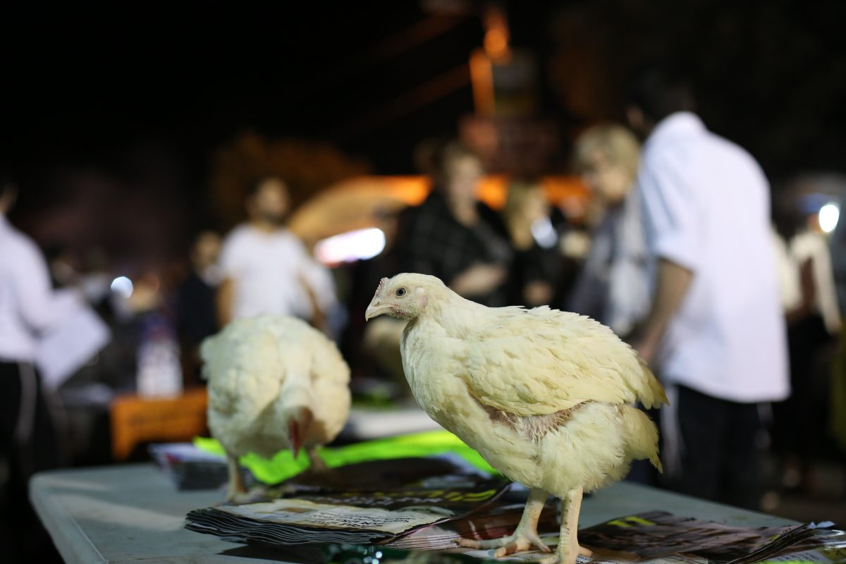 Kapparot: A Traditional Jewish Ceremony Where Thousands of Chickens are Treated Inhumanely and Killed Every Year