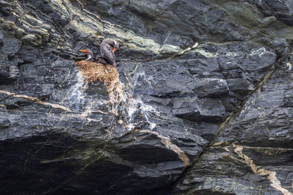 Red Legged Cormorant