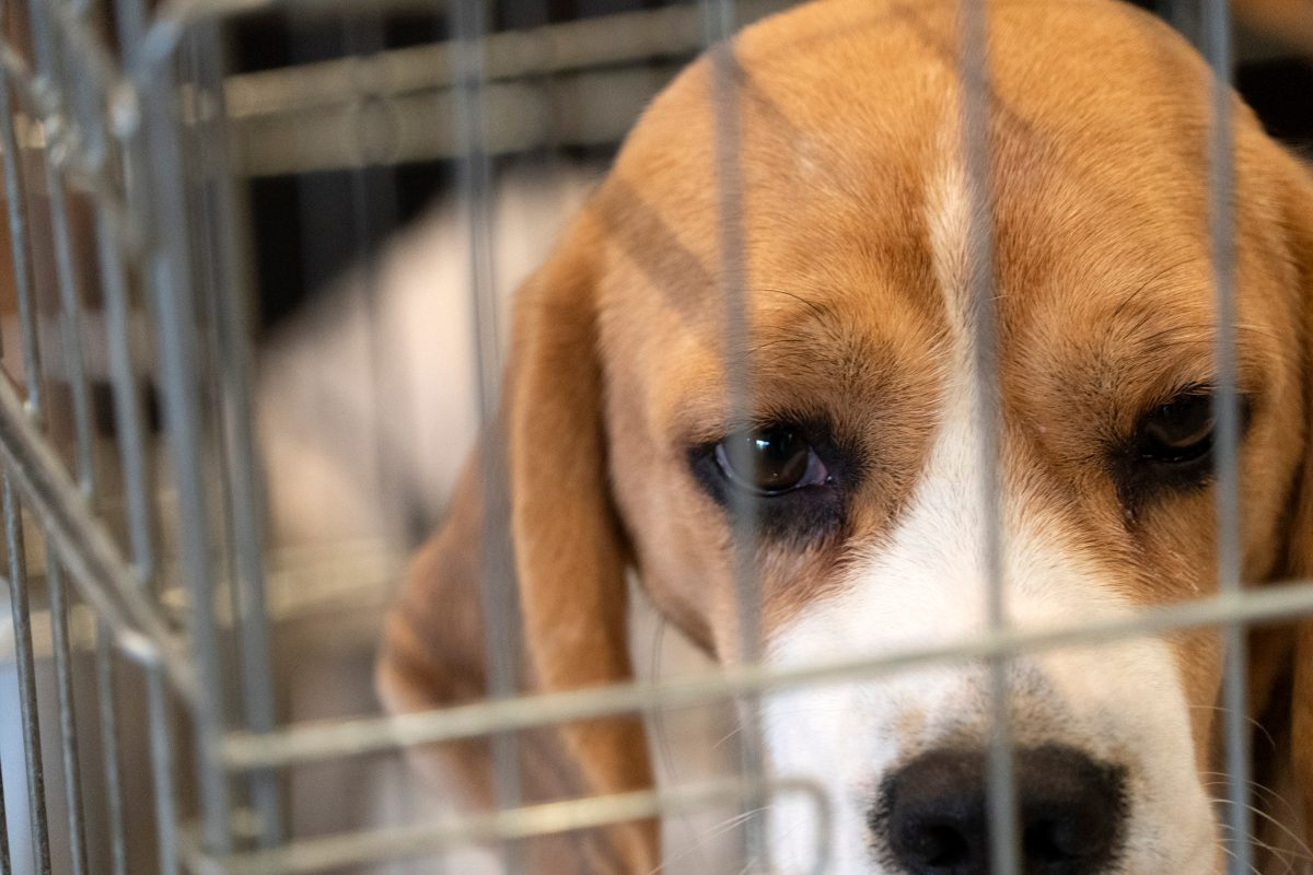 beagle in cage