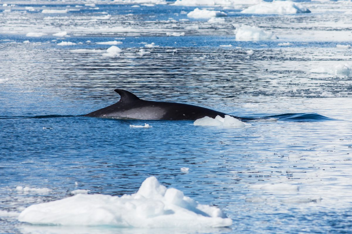 Whale Meat Demand in Norway is Rising