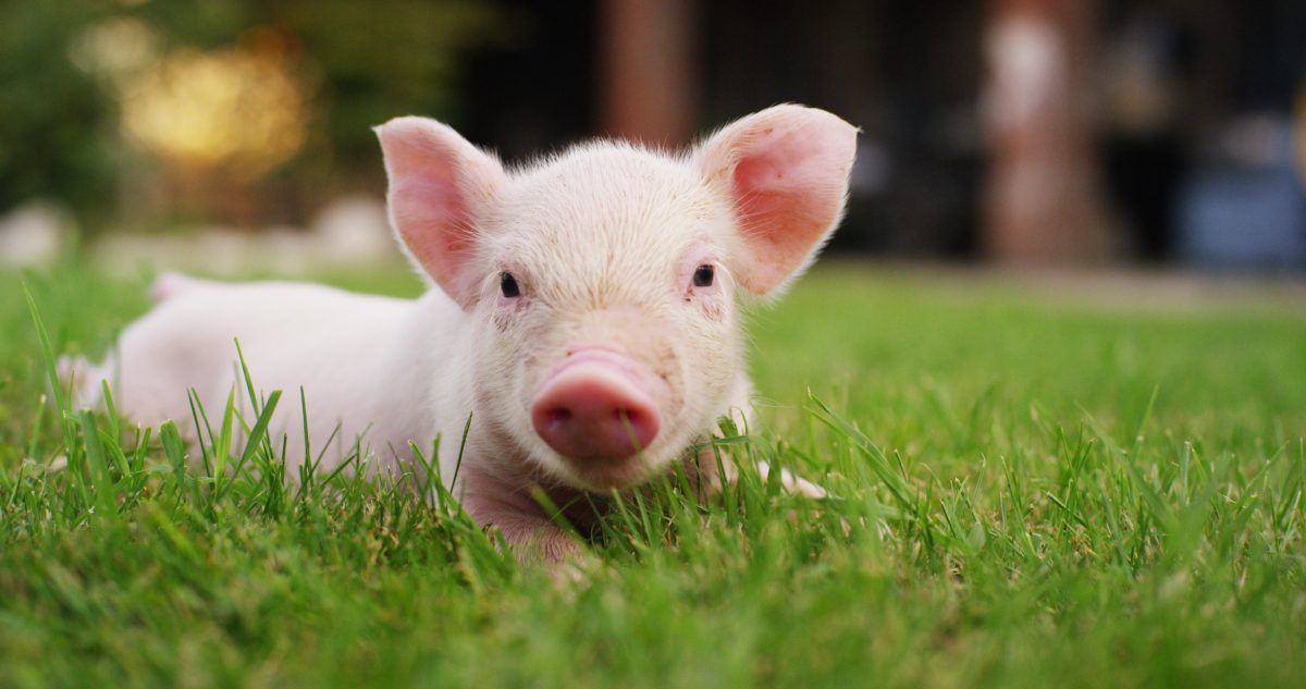 10 Pigs So Cute That You'll Never Look at Bacon the Same Way Again!