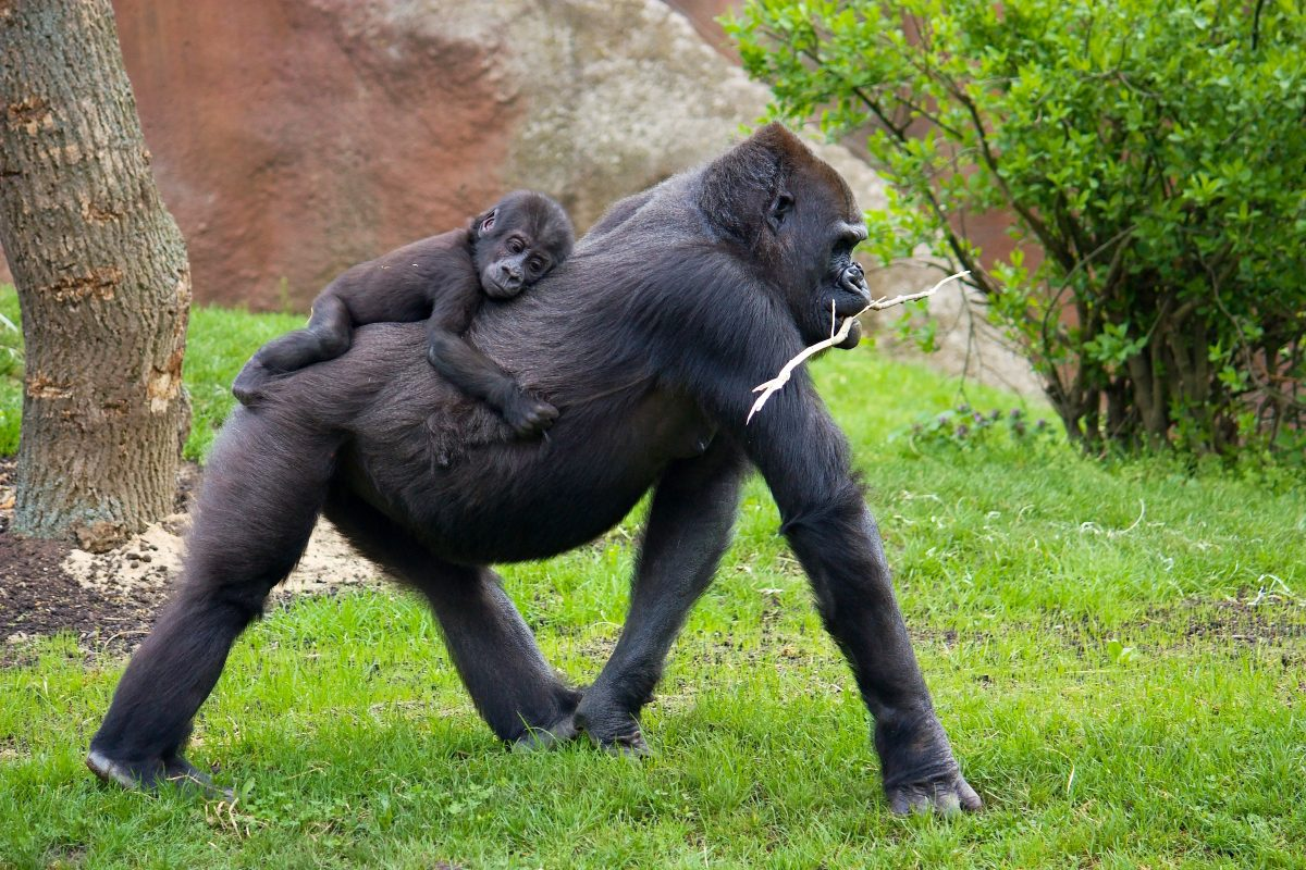 Petition: Demand Gorillas at Audubon Zoo be Transferred to a Reputable Sanctuary