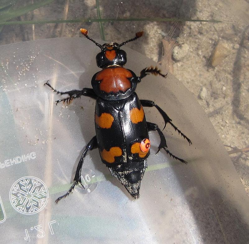 American_Burying_Beetle