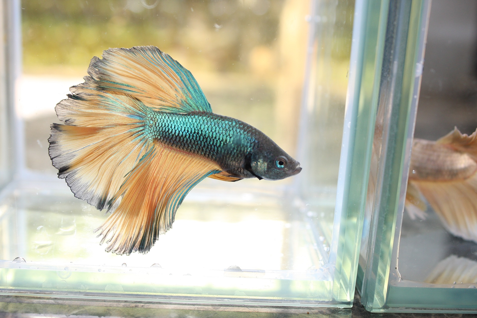 """Cruel Reality Behind the Pet Trade of the Betta Fish, a Fish Often Marketed as an """"Easy Starter Fish"""""""