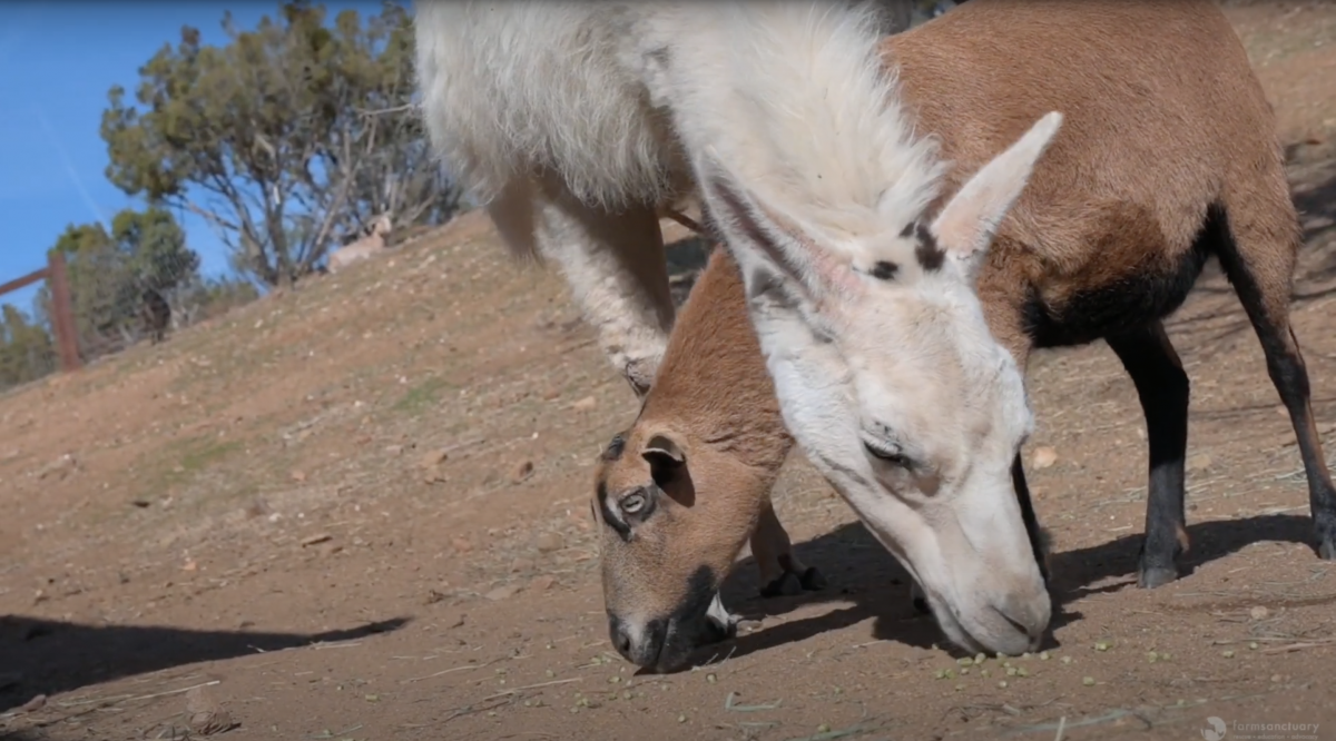 Beautiful Unlikely Friendship between Felicity the Sheep and Yoda the Llama [Video]