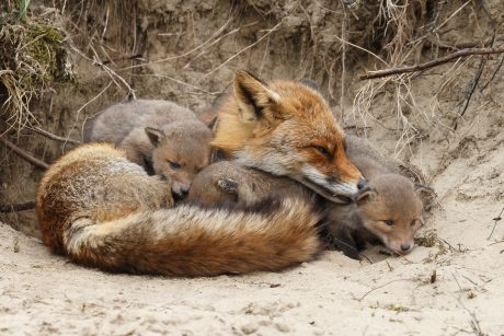 mother fox with babies