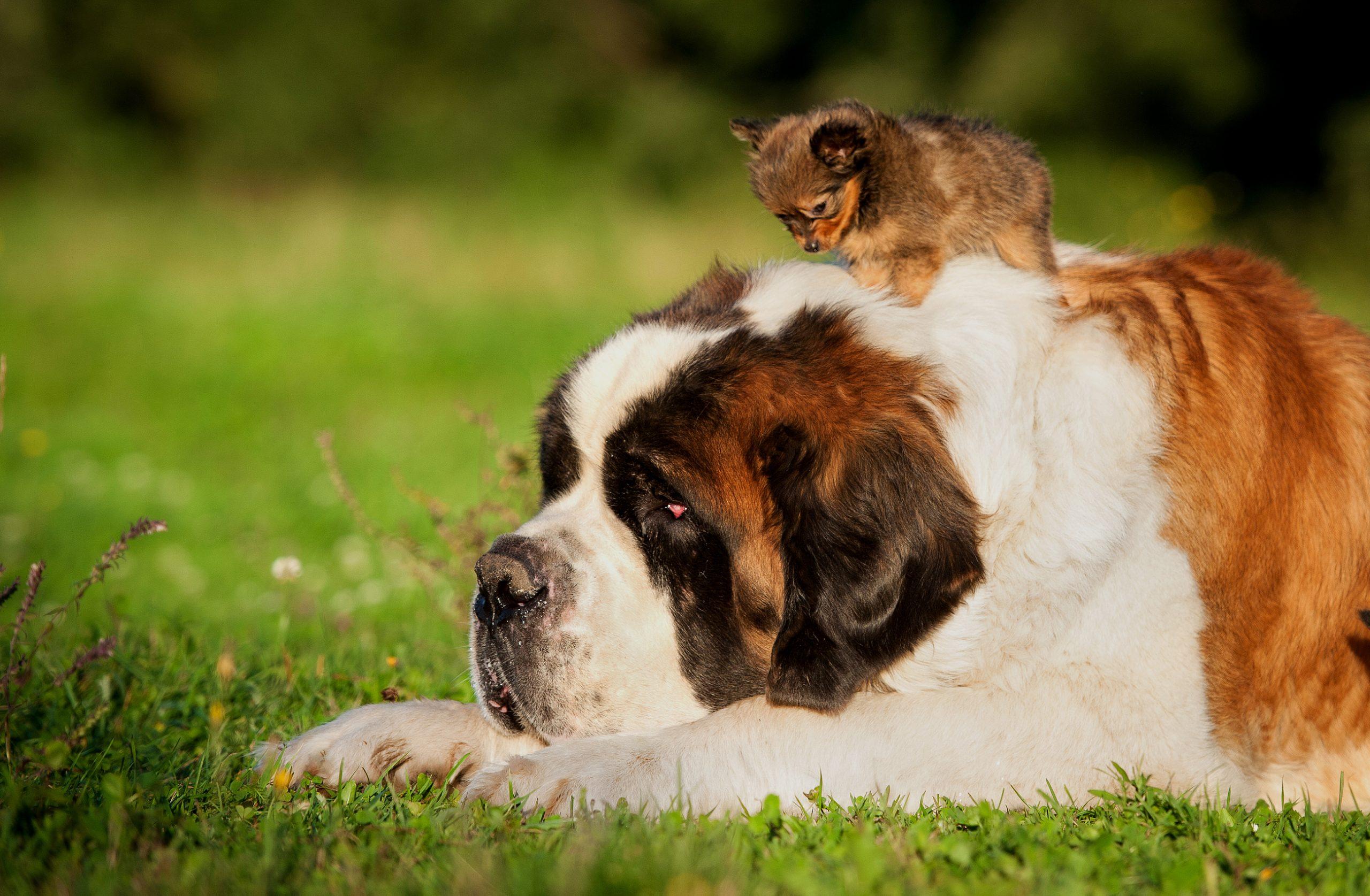 st bernard and tiny dog
