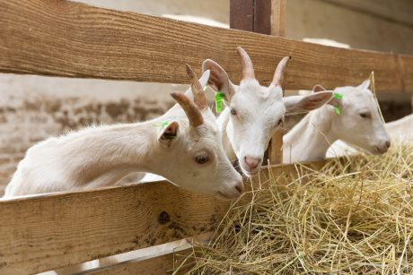 Goats on Farm