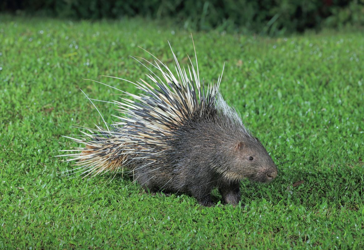 Maine Police Officers Fired After Beating Porcupines to Death