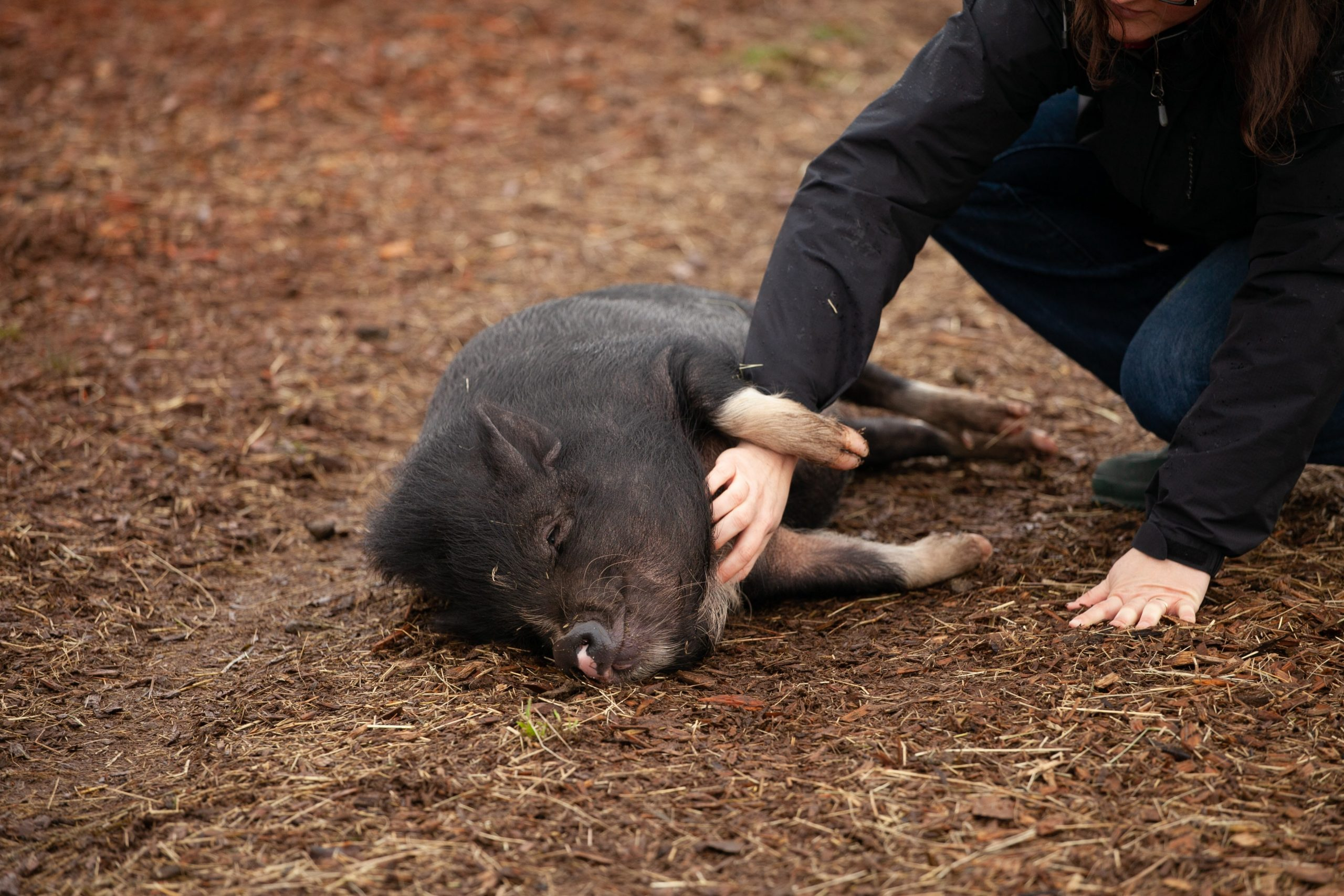 pig at farm sanctuary
