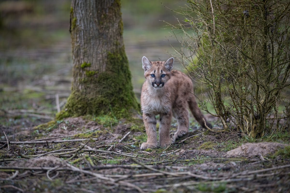 Three Mountain Lion Cubs Rescued from California Wildfire