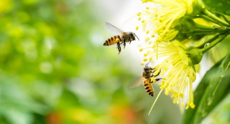 Flying honeybees