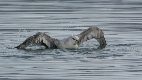 Northern Fulmar in Greenland