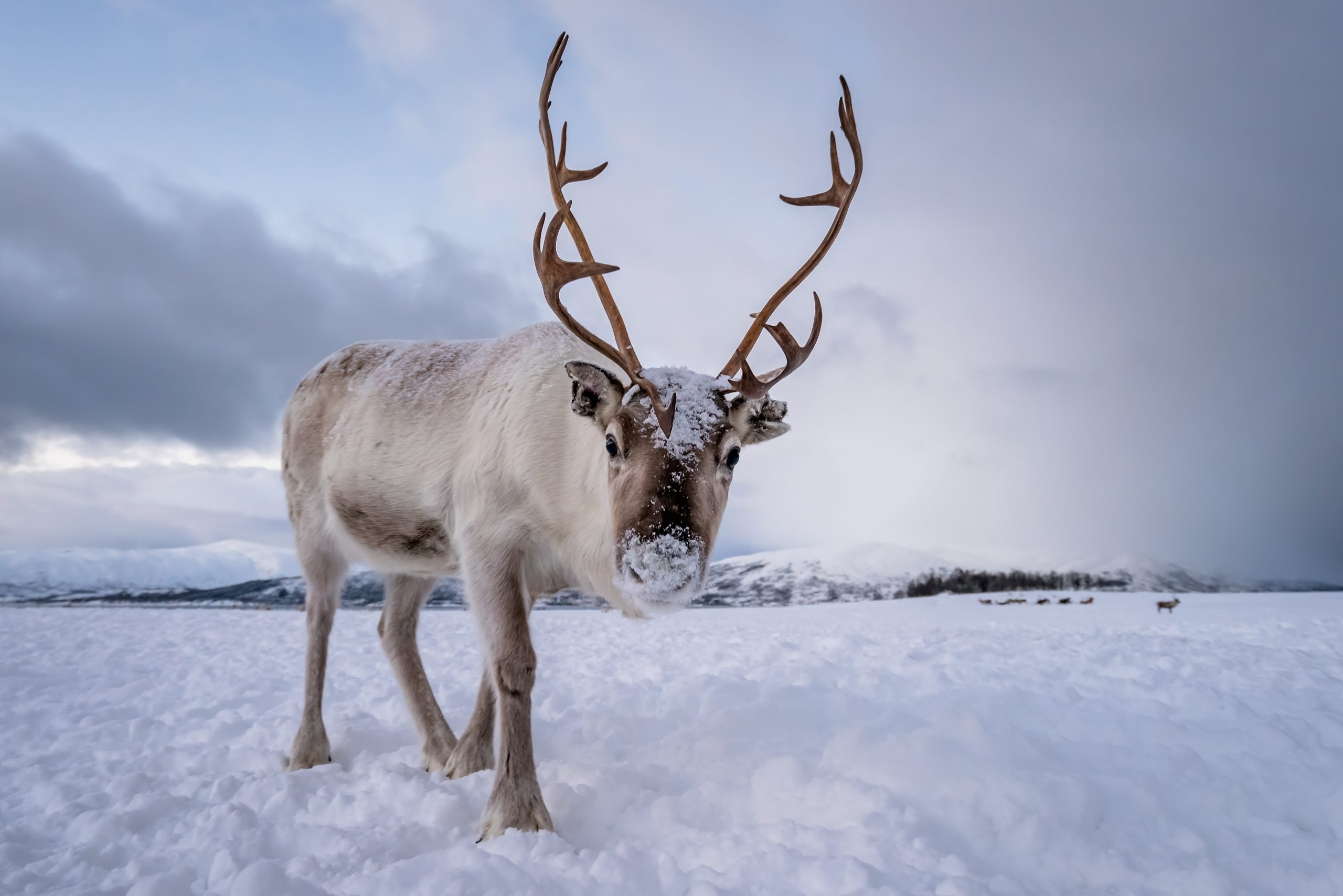 Portrait of a reindeer with massive antlers pulling sleigh in snow, Tromso region, Northern Norway