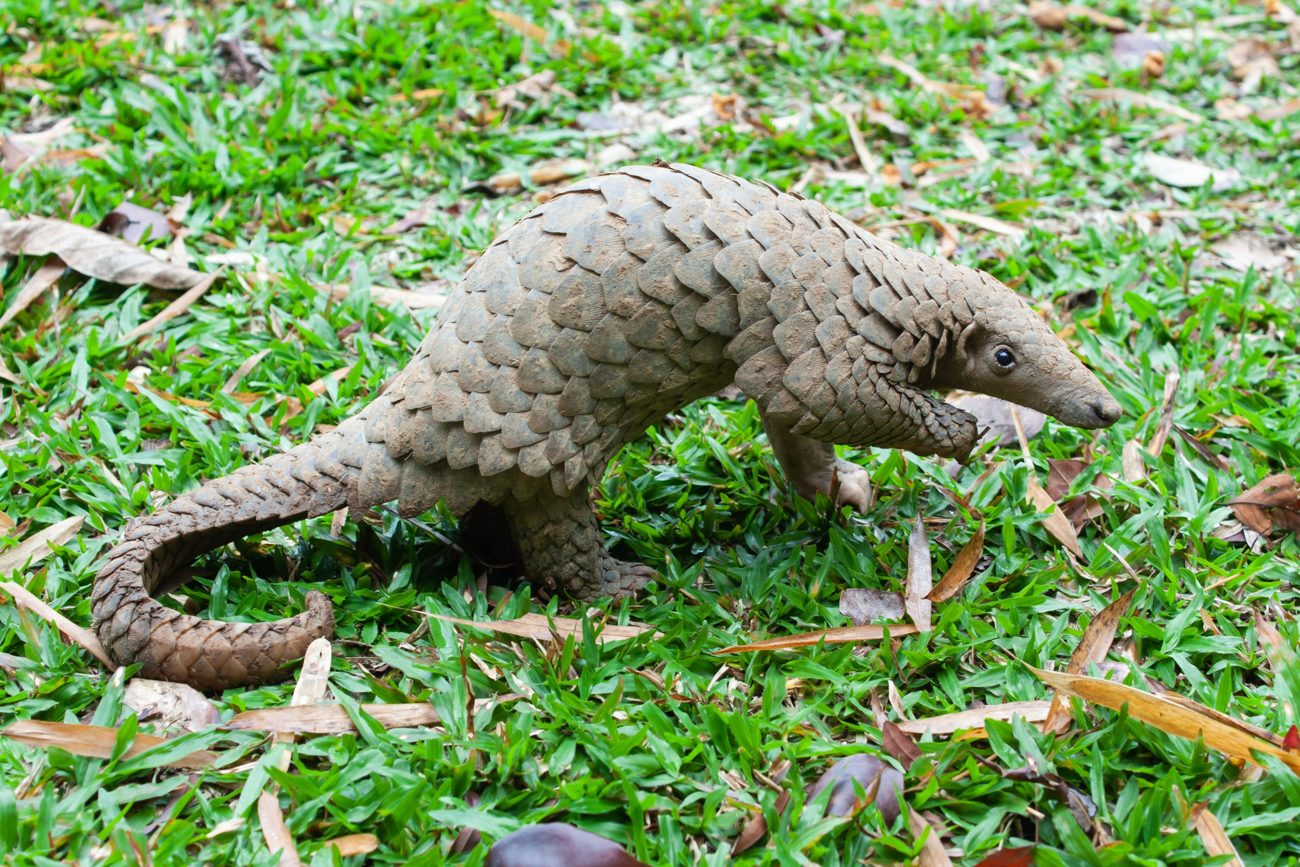 Java Pangolin
