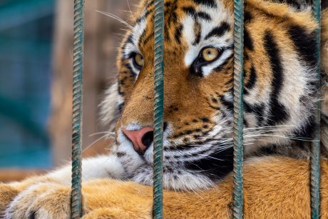 sad tiger in cage