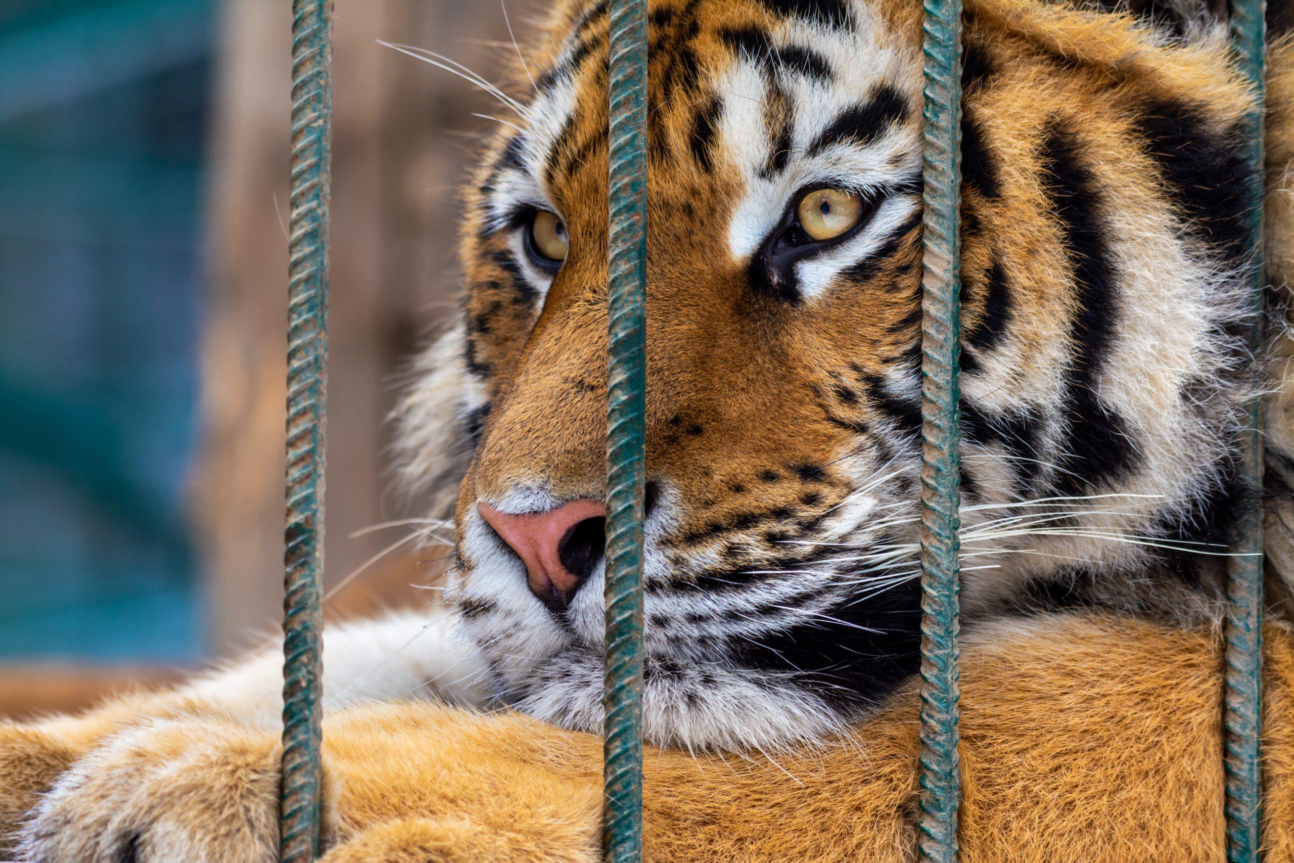 sad tiger in cage