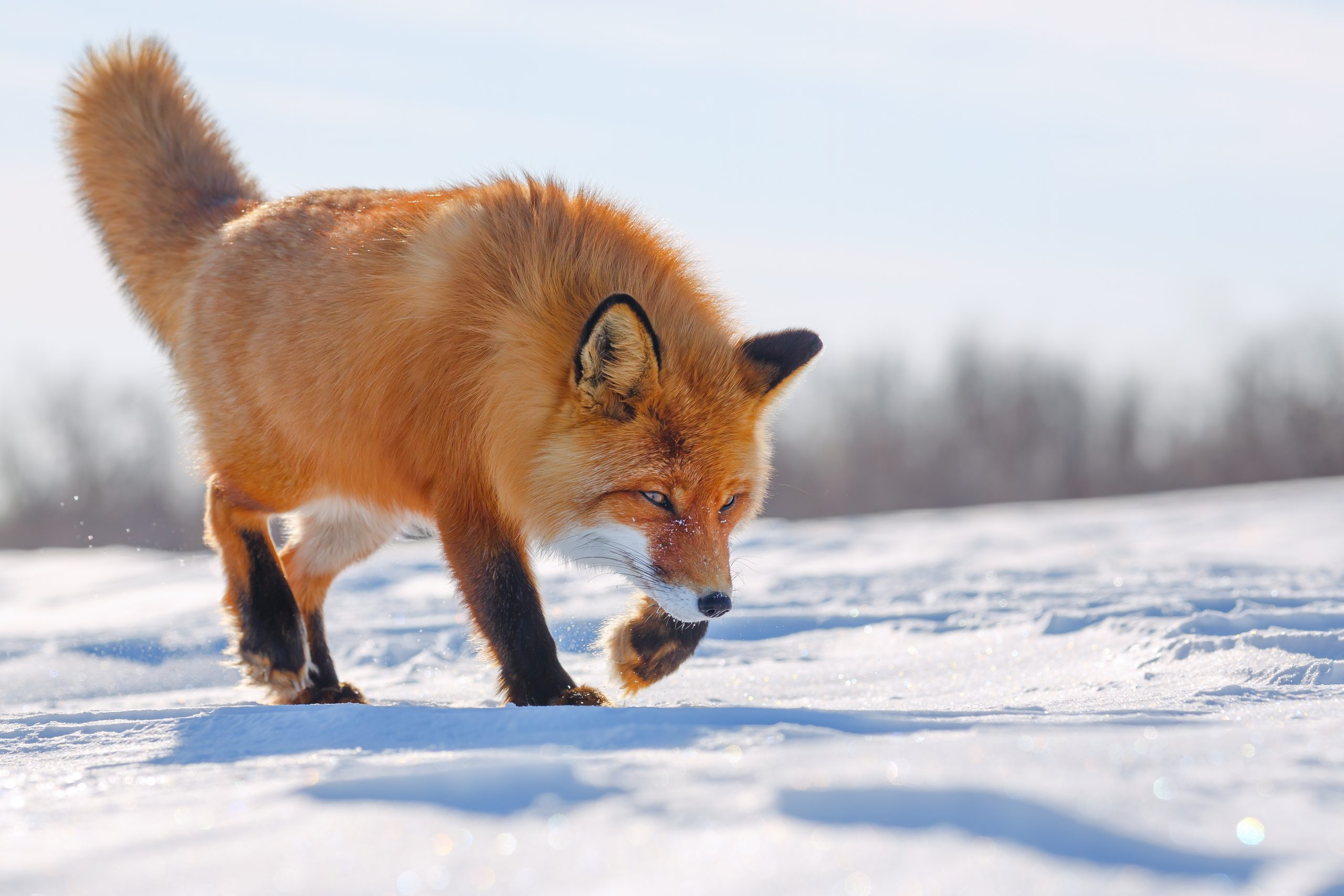 Red Fox in the Arctic