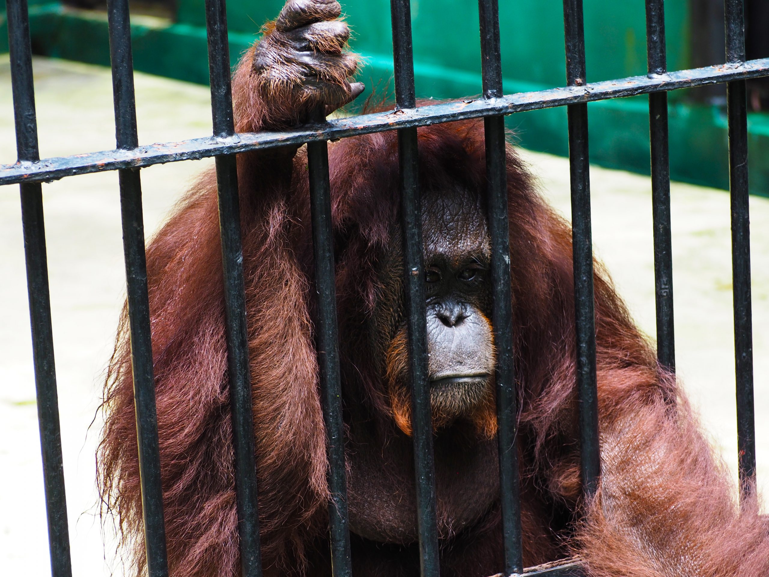Ape in Cage