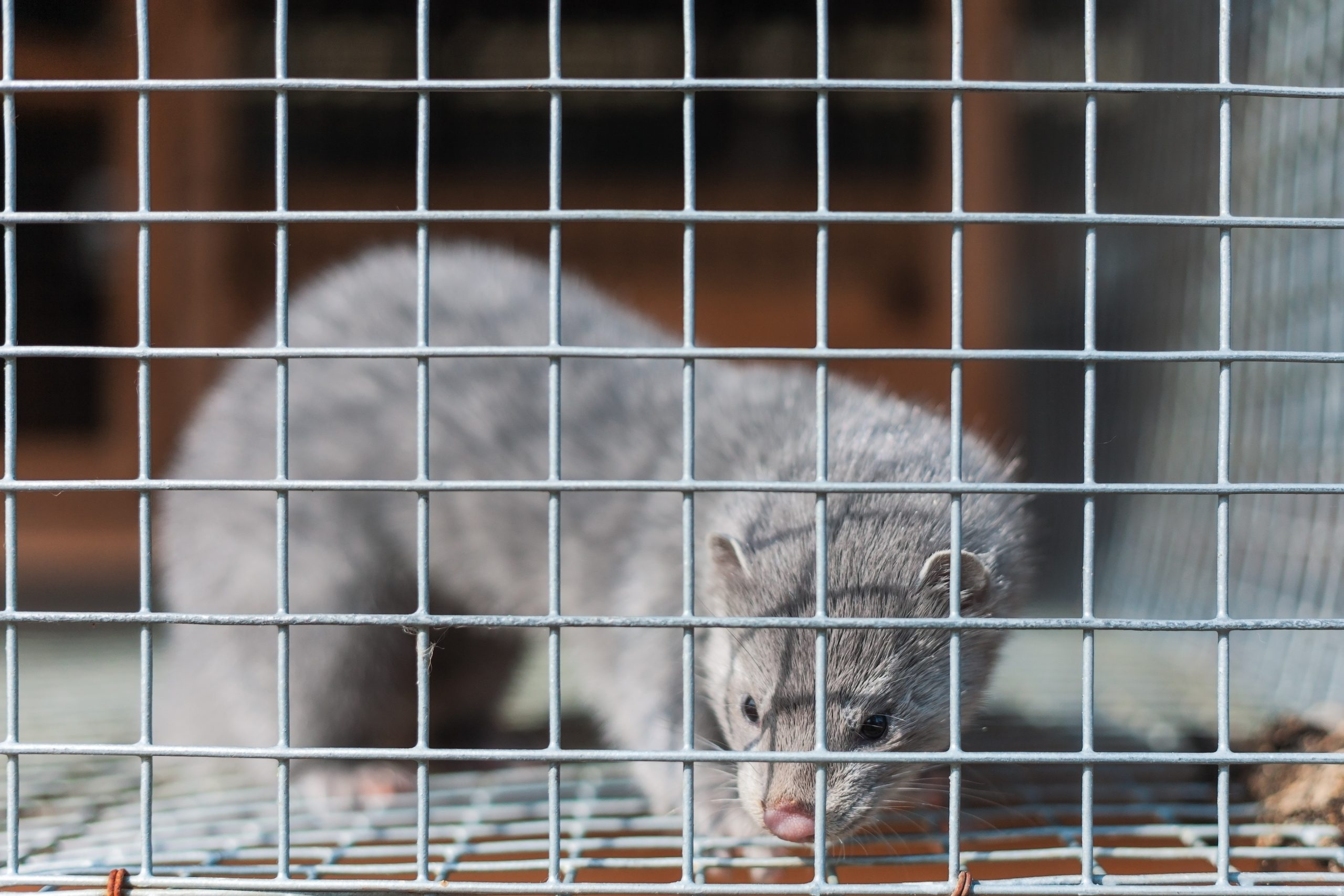 Fur farm mink