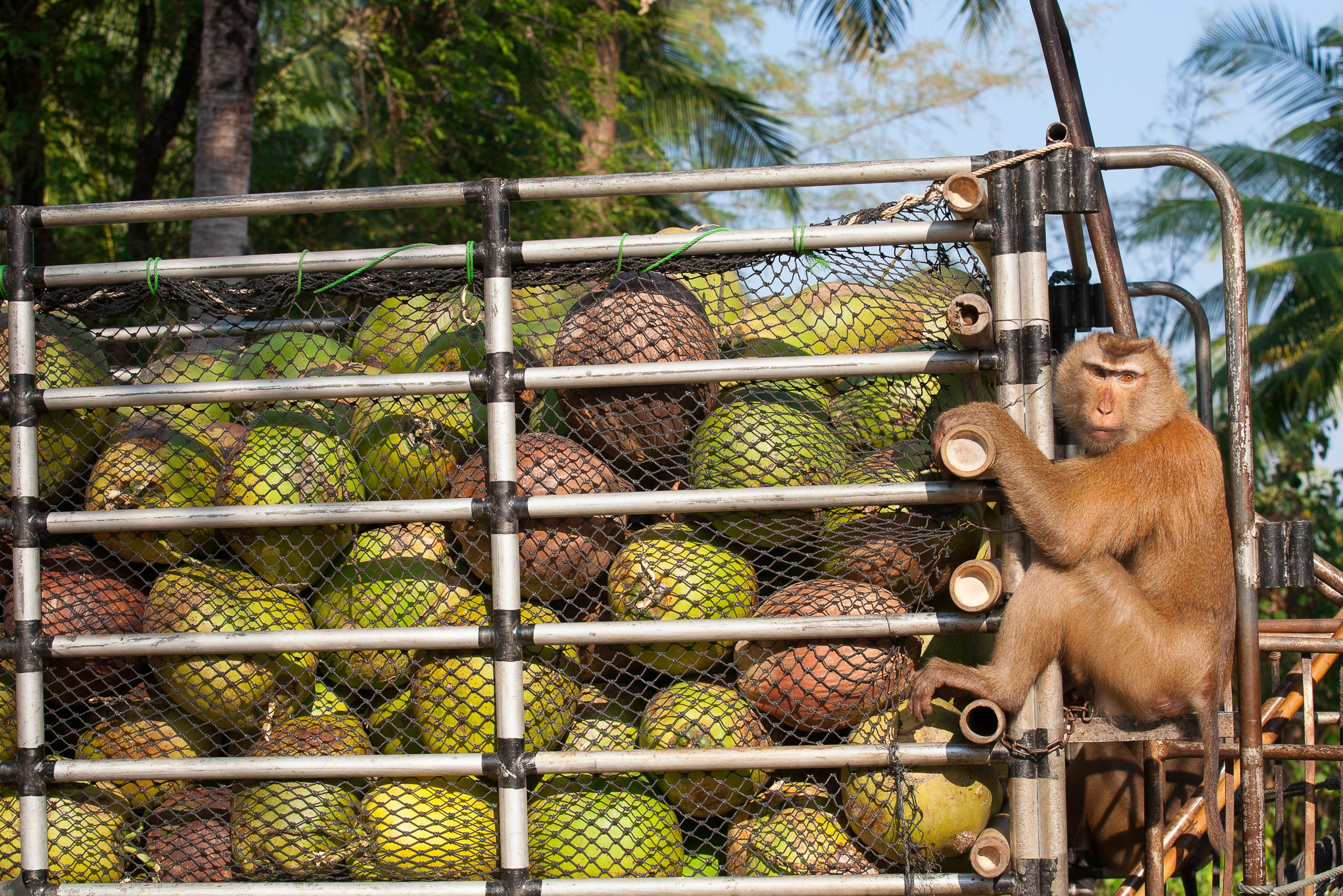 monkey coconut labor