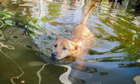 dog swimming in flood