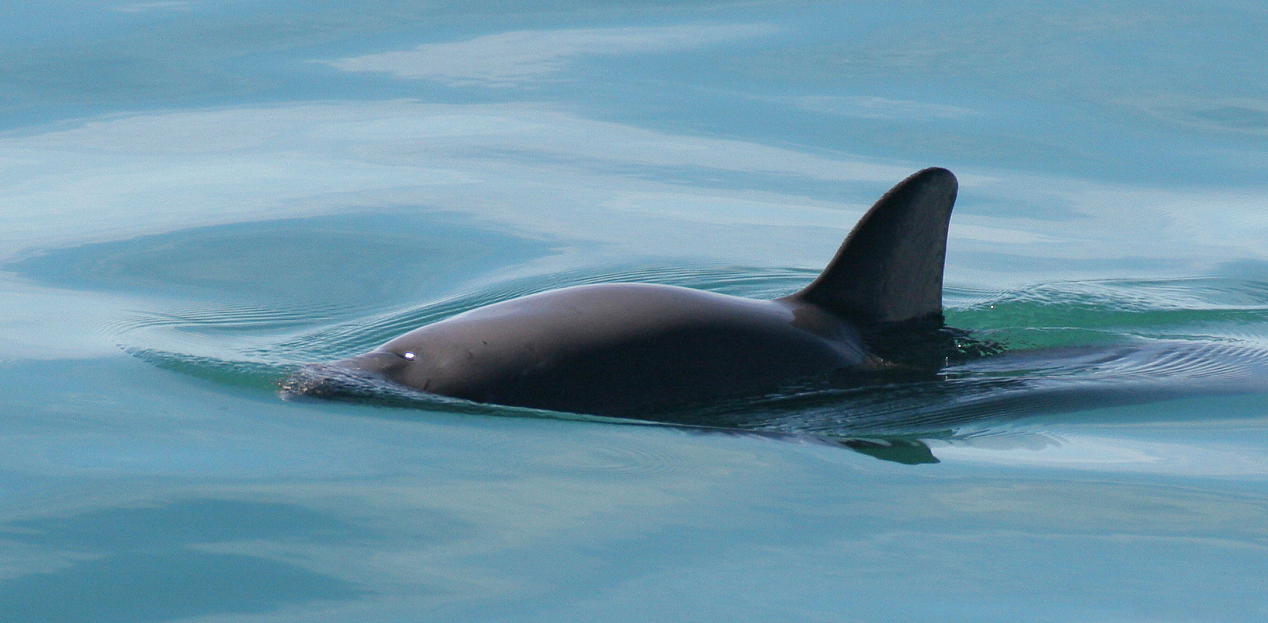 New Project Offers Hope for 19 Vaquita Porpoises Left in the World