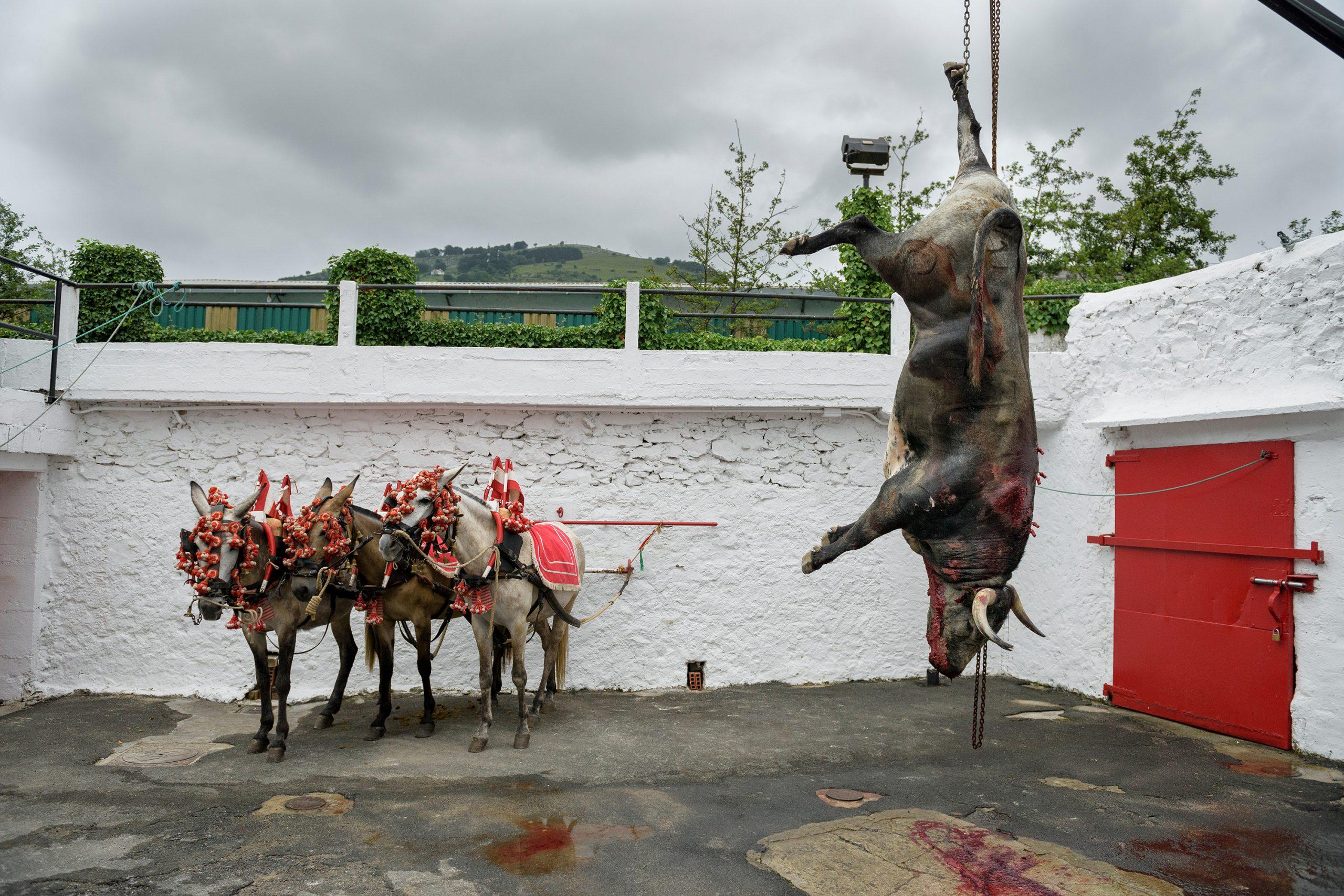 dead bull tied up