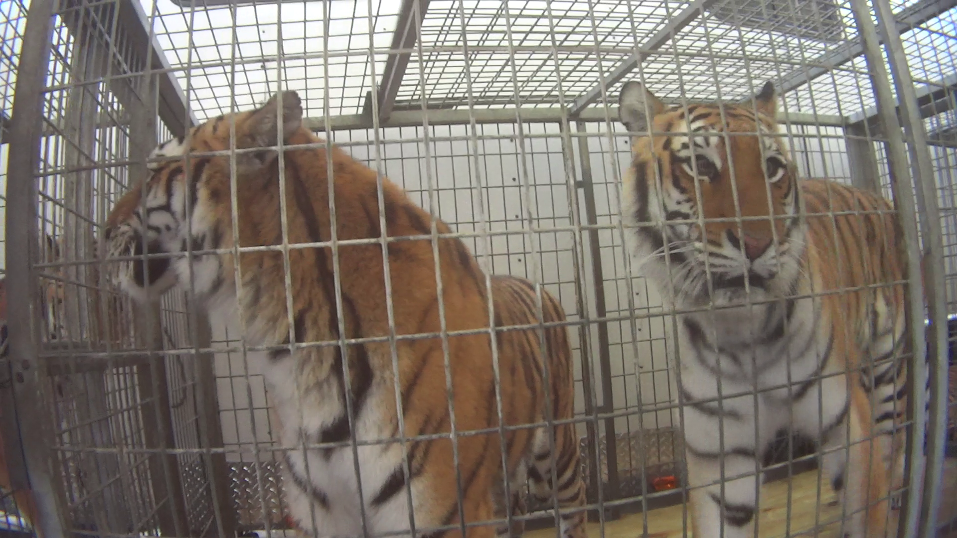 Big Cats in cages