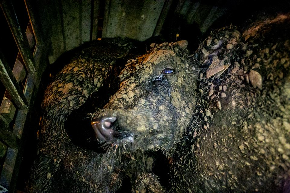 Calf blinded from ammonia fumes