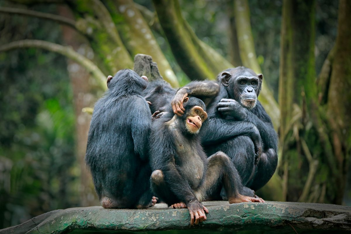 32 Chimpanzees Stranded and in Desperate Need of Shelter!