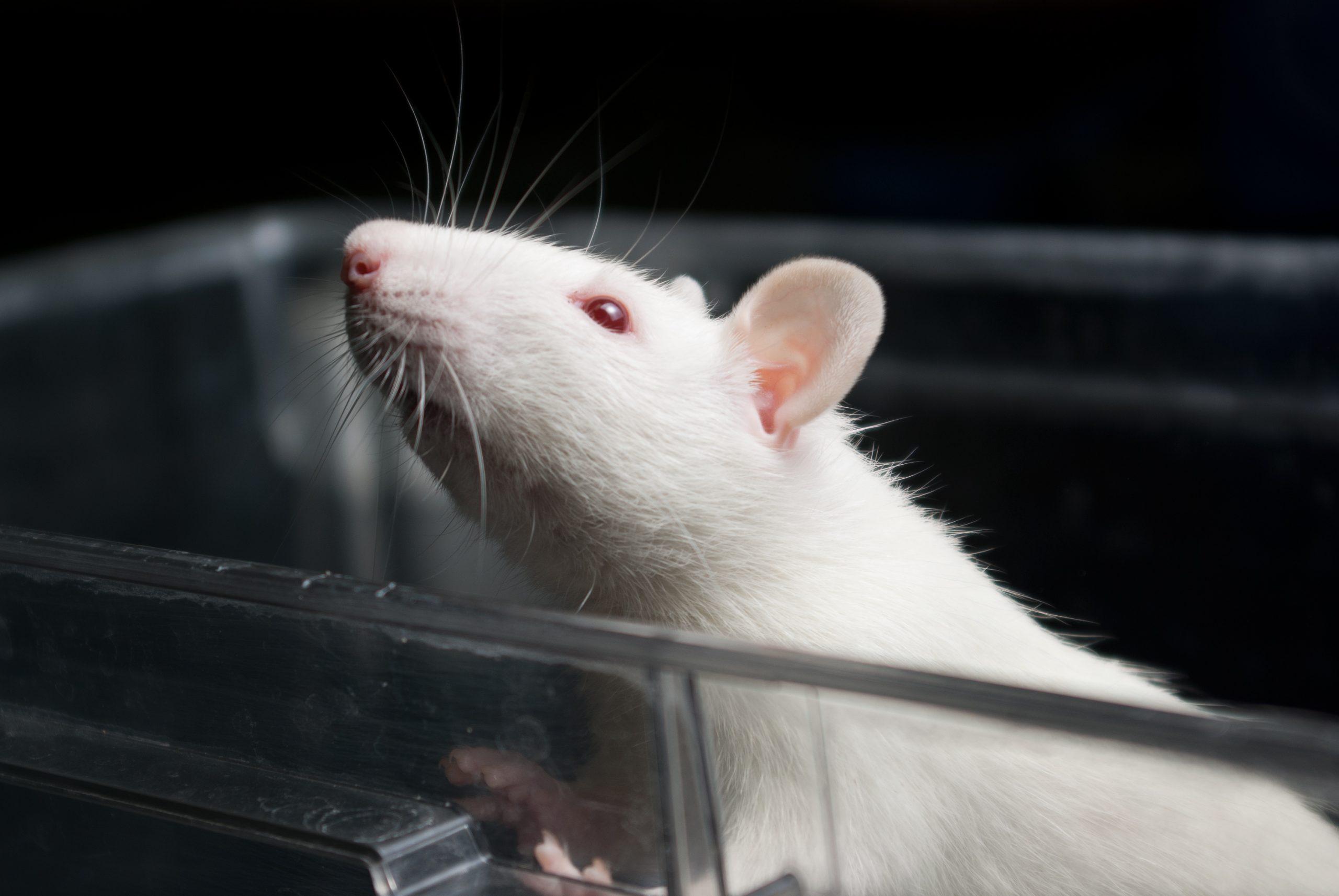 rat in lab