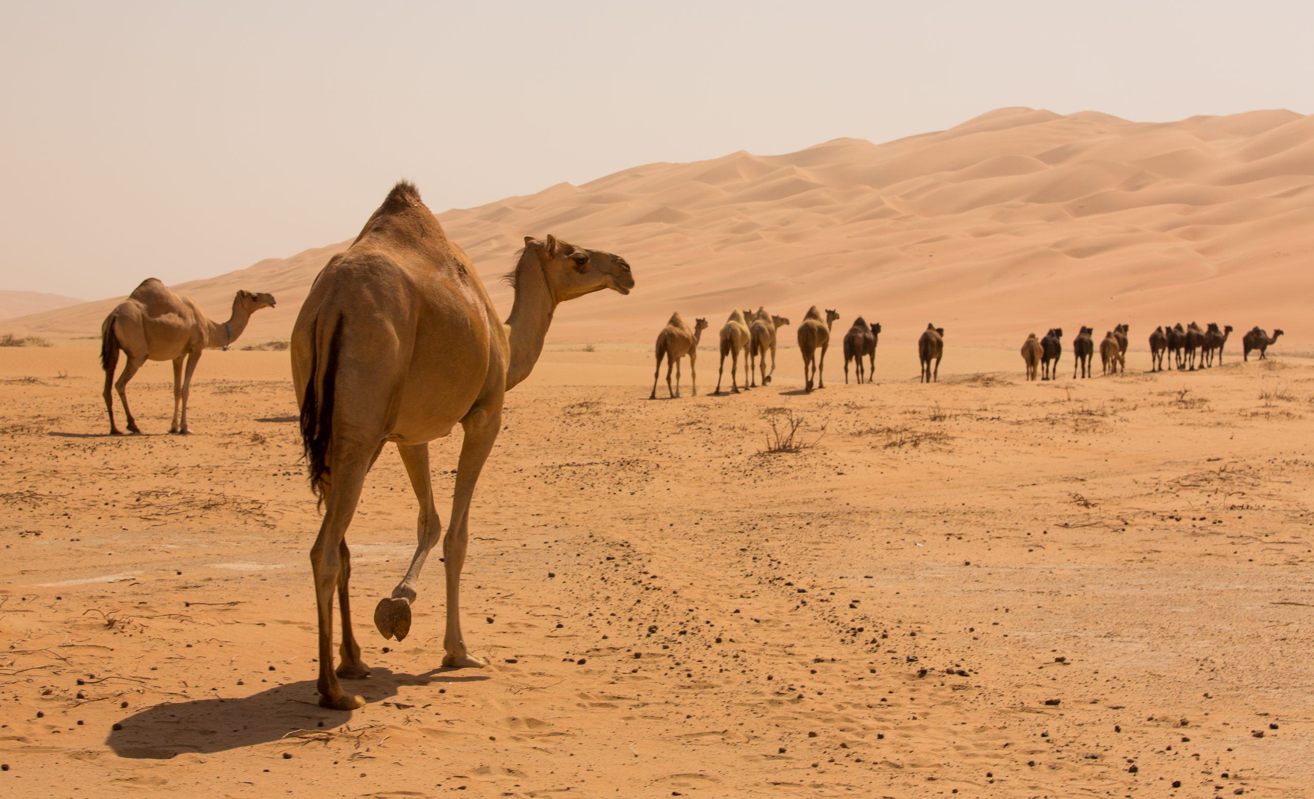 Group Of Camels walking in liwa desert in Abu Dhabi UAE