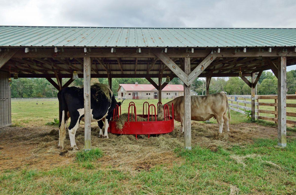 cows at woodstock farm sanctuary