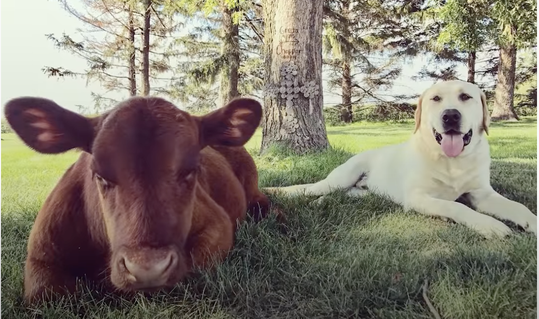 Cow Learns to Walk and Acts Like a Puppy! [Video]