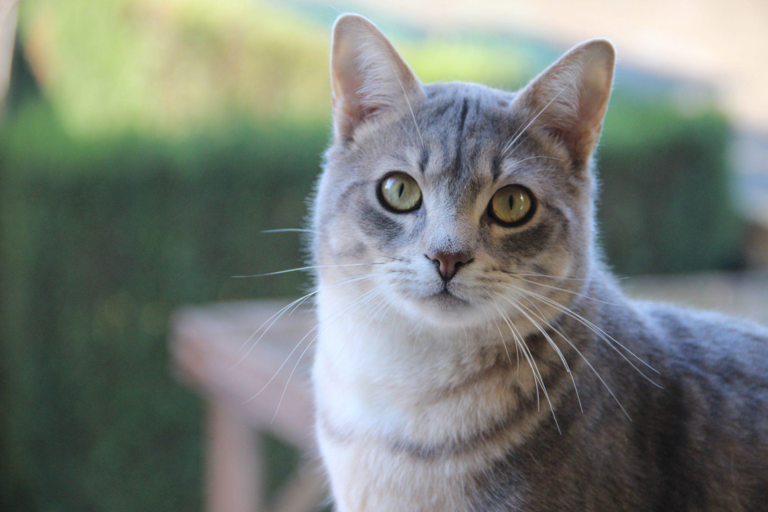 grey white cat