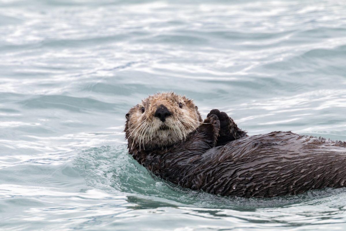 Alaska Sea Otter