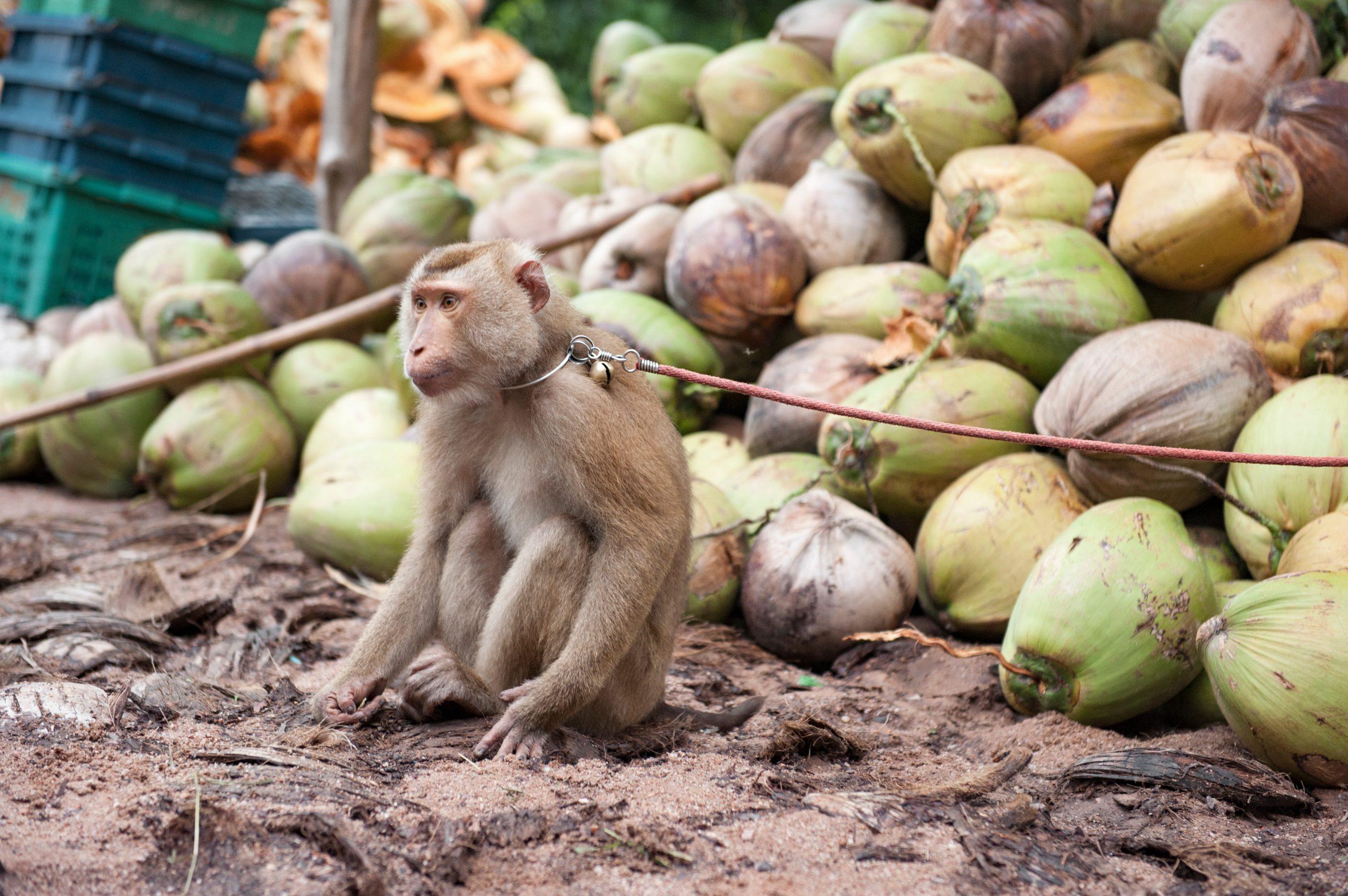 Monkey Coconut