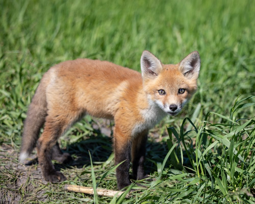 Animal Lover Adopts Fox Cub