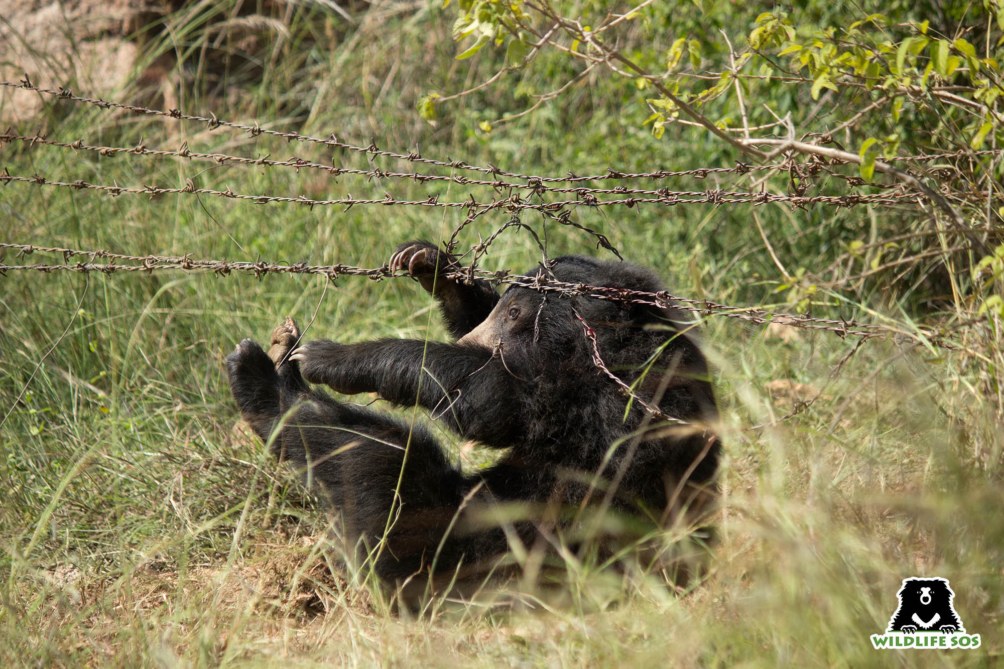 A bear's leg was caught in a deadly poacher's snare and found trapped in a barbed wire fence