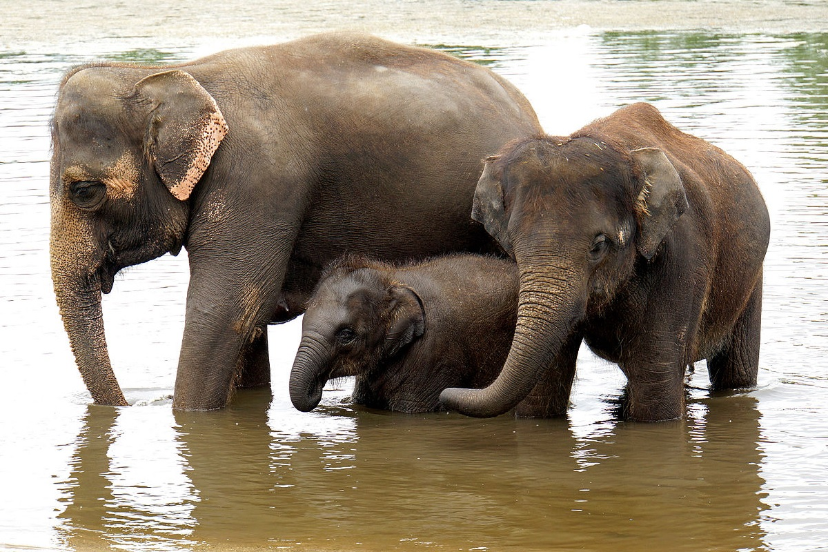 Three Asian elephants standing in water together