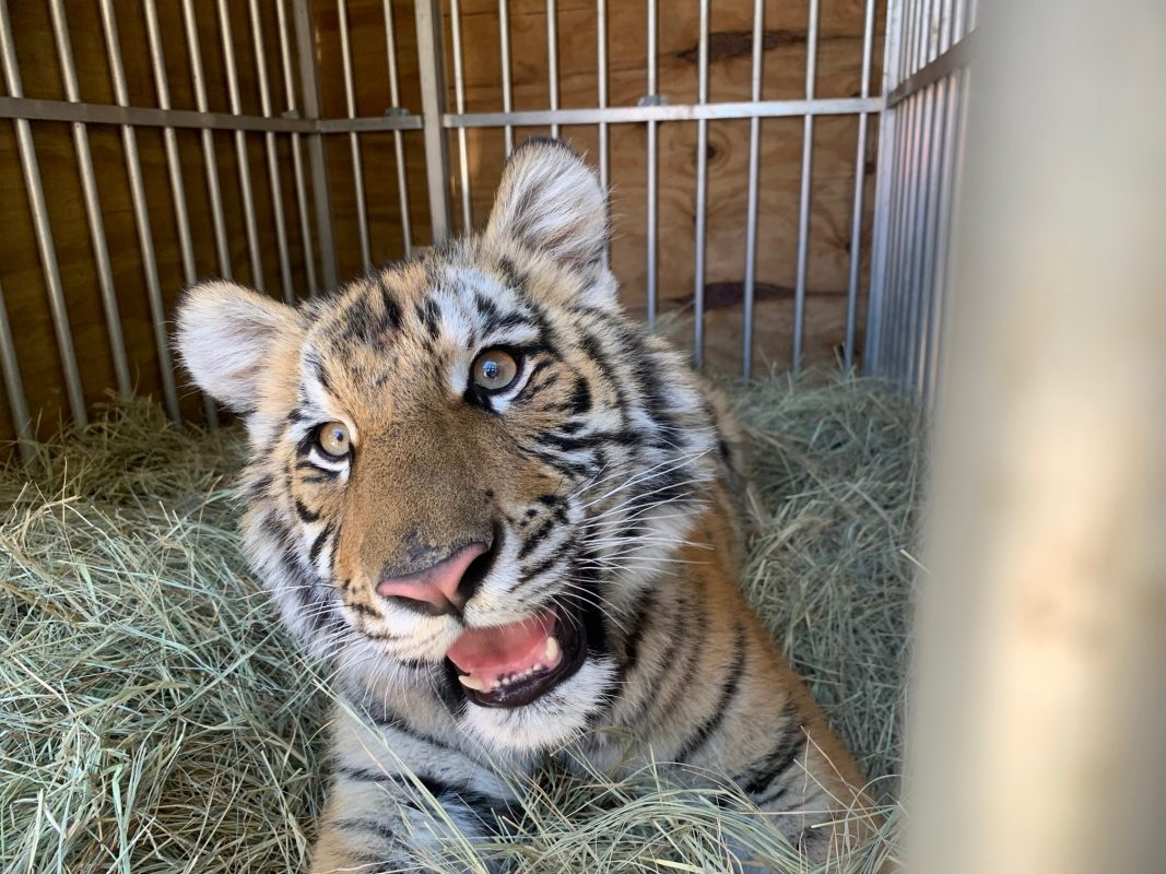 """""""Frozen"""" Texas Weather Serves as Blessing in Disguise for Rescue of Pet Tiger Elsa"""