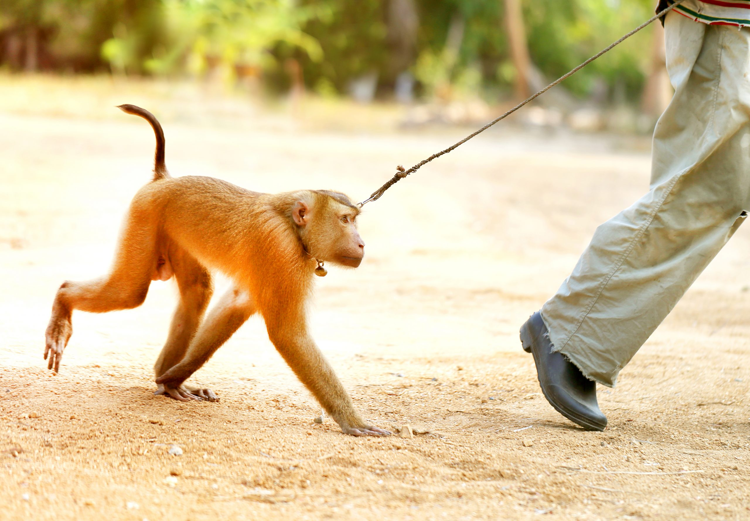 monkey on leash
