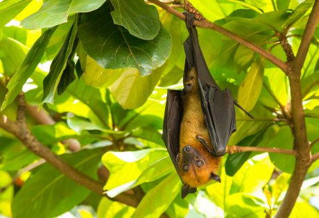 Flying fox bat.