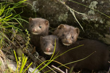 A family of wild mink.