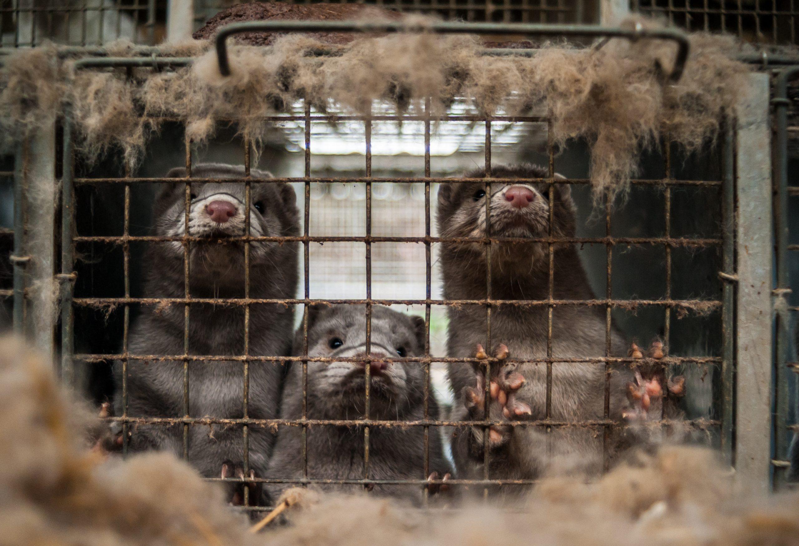 Mink on a fur farm.